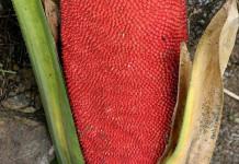 Sari Buah Merah