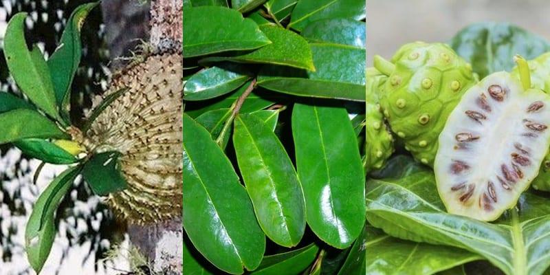 Sarang Semut, Daun Sirsak, atau Noni Herbal Kanker