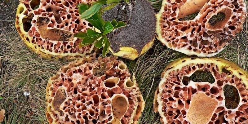Obat Kanker Alami: Sarang Semut Papua Habisi Kanker sejak Bulan Pertama!