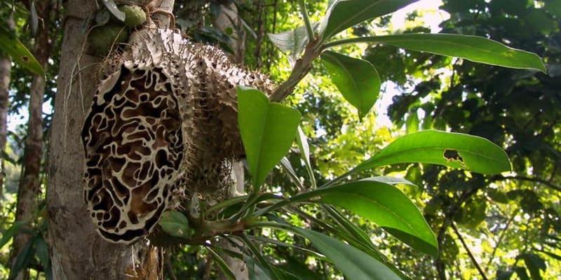 Sarang Semut, Obat Herbal Populer di Asia Tenggara