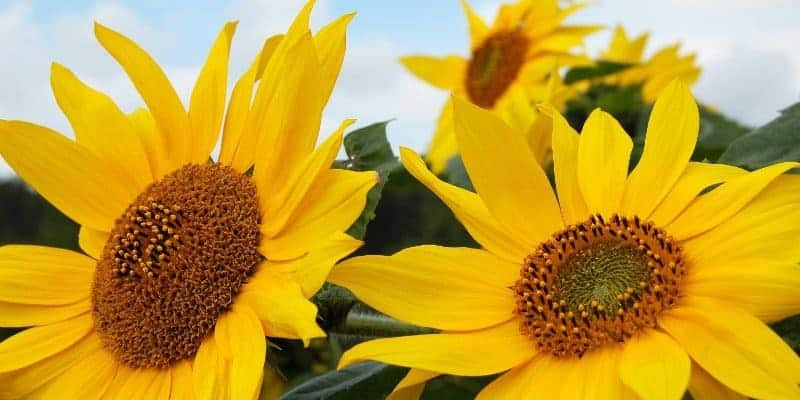 Khasiat Bunga Matahari Untuk Kesehatan