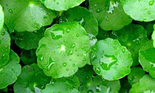 Manfaat Daun Pegagan sebagai Antioksidan Alami
