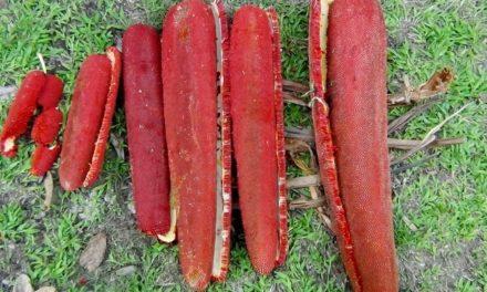 Manfaat Buah Merah sebagai Obat Herbal untuk Beragam Penyakit