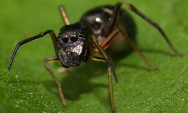 Mengenal Semut Jepang dan Manfaatnya bagi Kesehatan