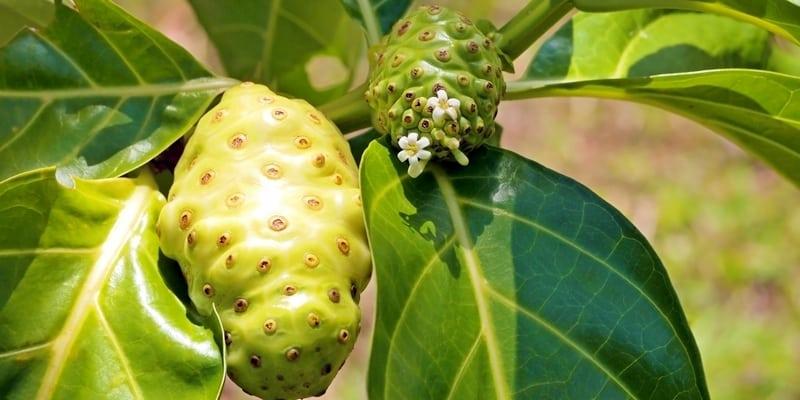 Apa Obat Herbal Gondok Terbaik?