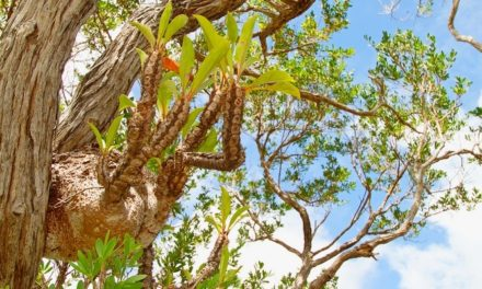 3 Jenis Sarang Semut Sebagai Herbal
