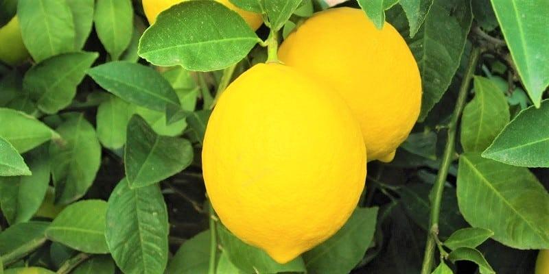 Lemon Obat Diet