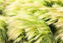 Pengolahan, Penggunaan dan Efek Samping Tanaman Alang-Alang