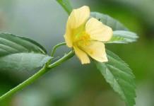 tanaman sidaguri