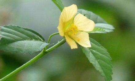 Tanaman Sidaguri – Herbal untuk Asam Urat, Radang, Hingga Kanker