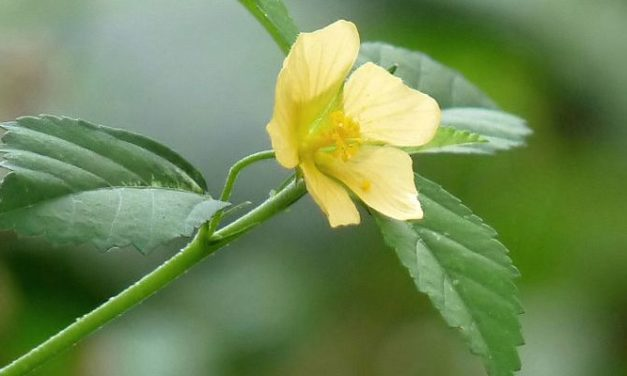 Tanaman Sidaguri: Herbal untuk Asam Urat, Radang, Hingga Kanker