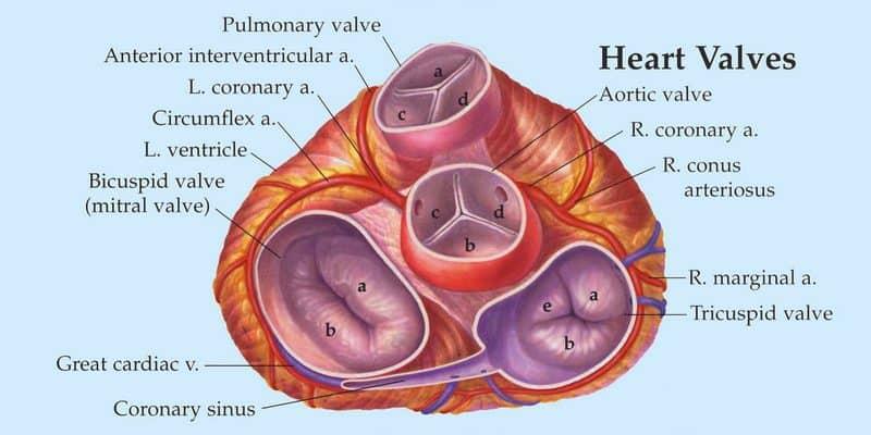 anatomi katup jantung - jantung bocor - penyakit jantung bawaan