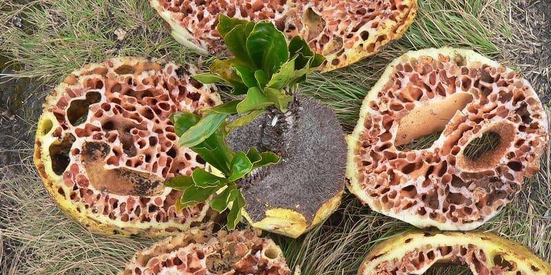 Cara Mengobati Ambeien Secara Alami Dengan Sarang Semut; Sarang Semut Obat Ambeien