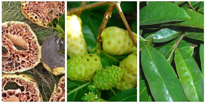 Jenis Herbal Kanker: Sarang Semut, Noni Juice, atau Daun Sirsak?