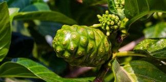Noni Juice sebagai Herbal untuk Peningkat Stabilitas