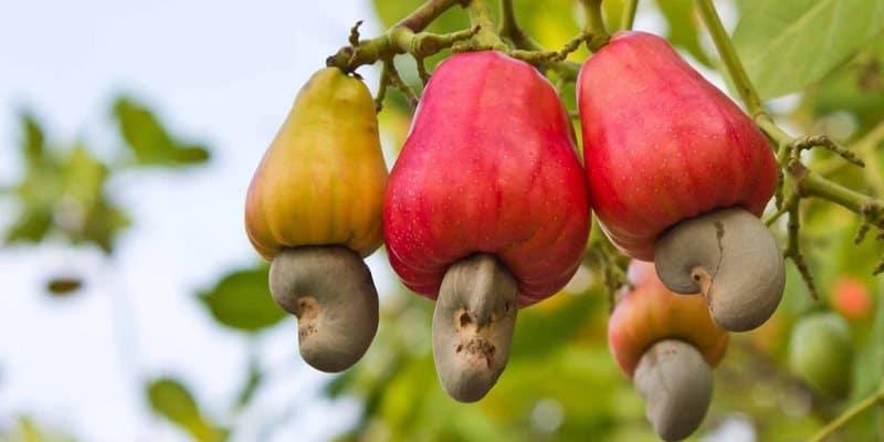 kacang mede - camilan sehat