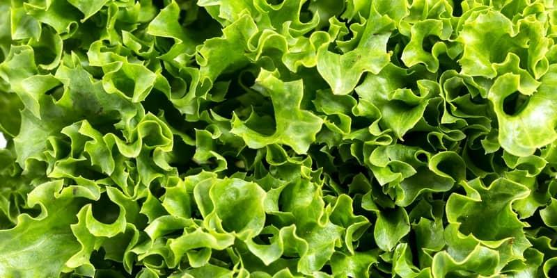 manfaat daun selada - manfaat selada - daun selada