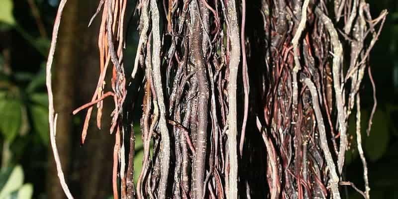 akar udara beringin untuk ramuan herbal radang amandel