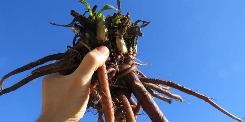 akar kompri untuk resep herbal radang amandel