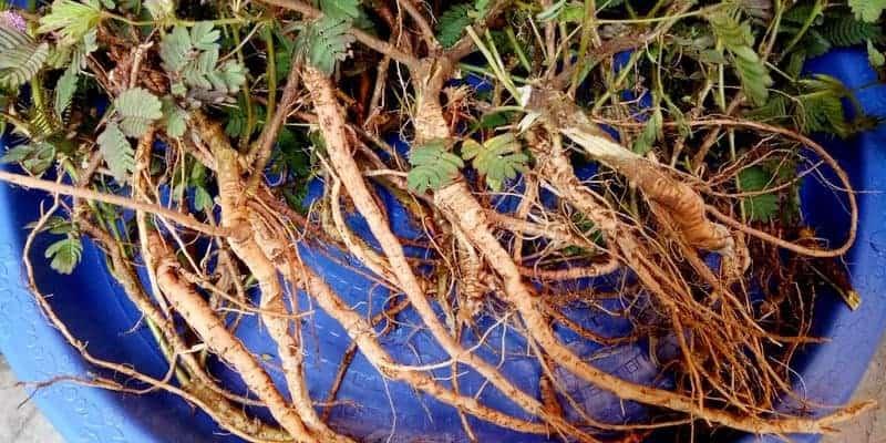 akar putri malu untuk ramuan herbal batuk berdahak