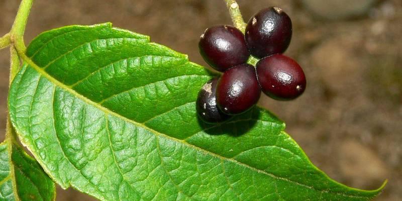 buah makasar untuk resep herbal malaria