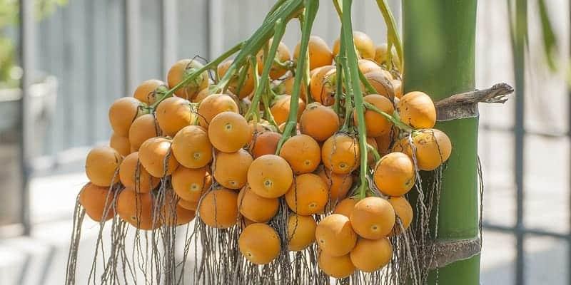 buah pinang untuk ramuan herbal bau badan