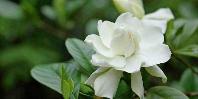 bunga kacapiring untuk resep herbal batuk