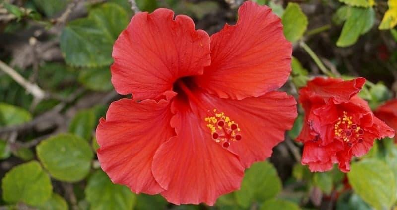 bunga kembang sepatu untuk resep herbal batuk berdarah