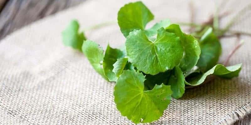 daun pegagan untuk resep herbal mata merah