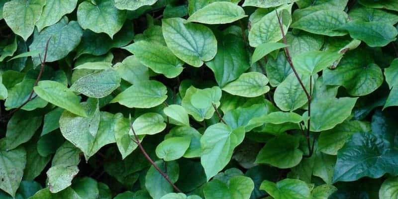 daun sirih untuk resep herbal bau badan