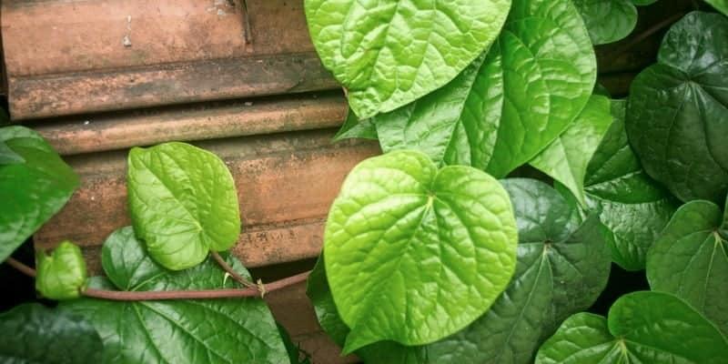 daun sirih untuk ramuan herbal batuk