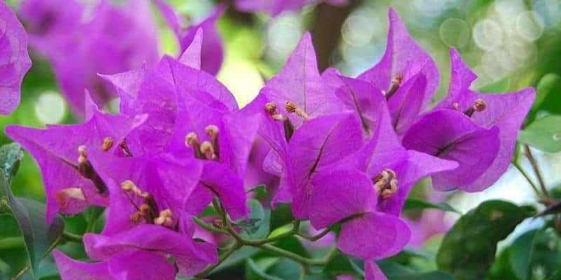 kembang kertas untuk ramuan herbal batuk rejan