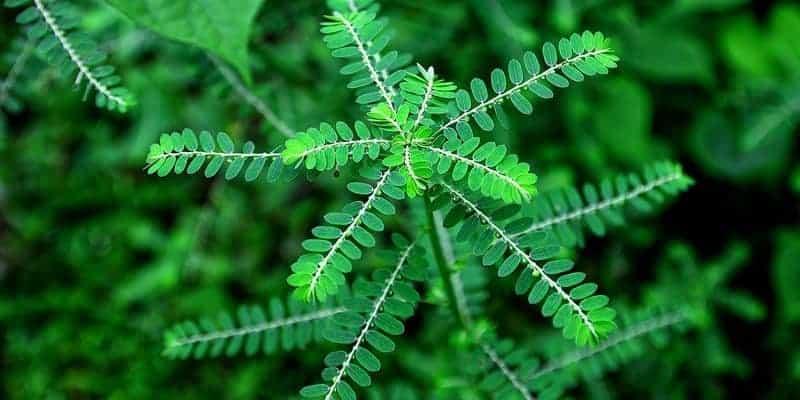 meniran untuk ramuan herbal rabun senja