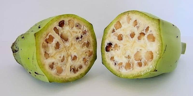 pisang batu untuk resep herbal buang air besar berdarah