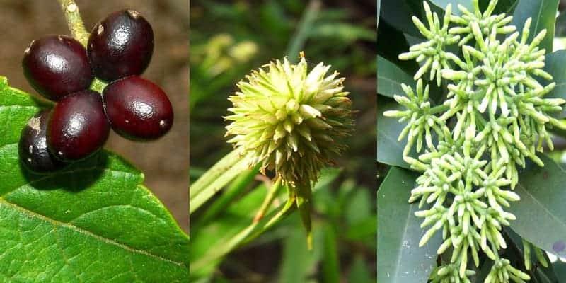 ramuan herbal malaria