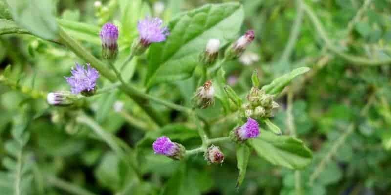 sawi langit untuk resep herbal batuk