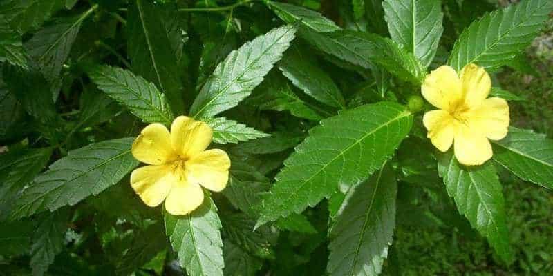 tanaman sidaguri untuk ramuan herbal asam urat