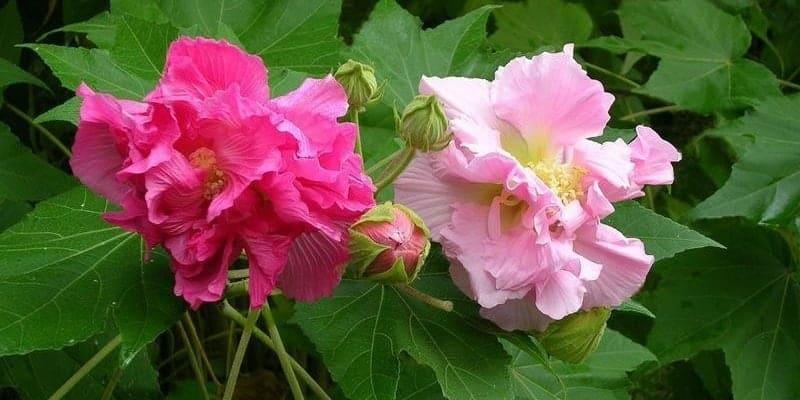 resep herbal luka tersiram air panas dengan bunga waru landak