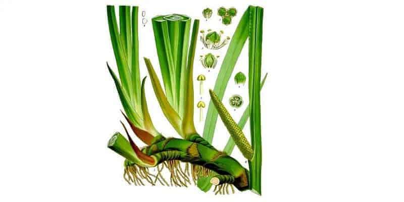 tanaman obat jeringau