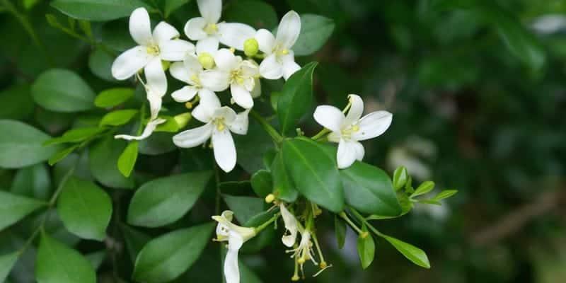 daun kemuning untuk ramuan herbal memar