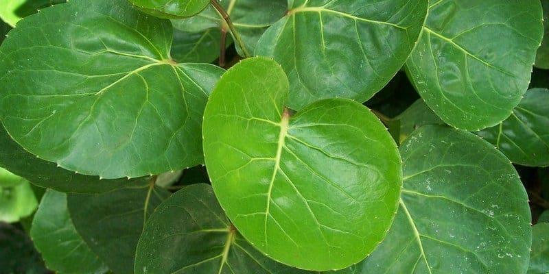 daun mangkokan untuk ramuan herbal luka