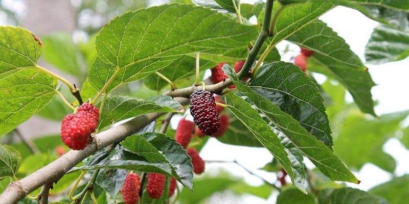 daun murbei untuk resep herbal berkeringat malam