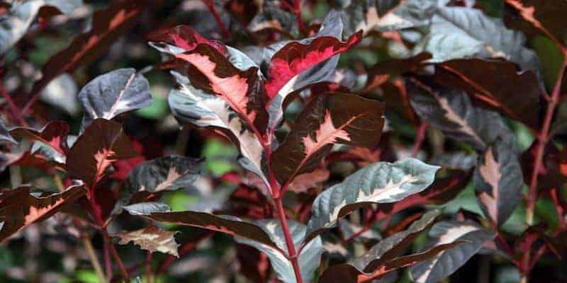 daun wungu untuk resep herbal bisul di payudara