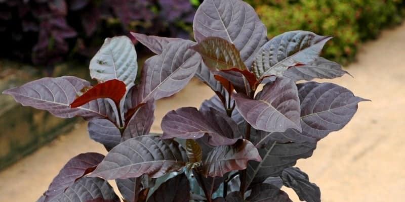 daun wungu untuk resep herbal wasir