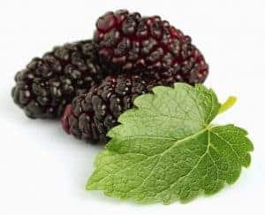 daun murbei untuk ramuan herbal berkeringat malam