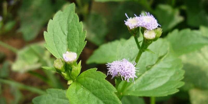 daun bandotan untuk resep herbal bengkak karena keseleo