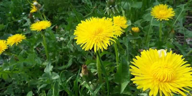Resep herbal pembengkakan kaki