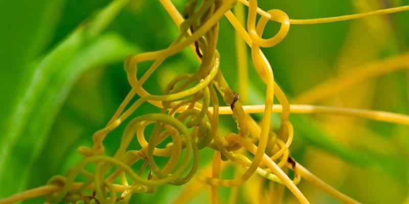 tali putri untuk ramuan herbal meningkatkan nafsu makan