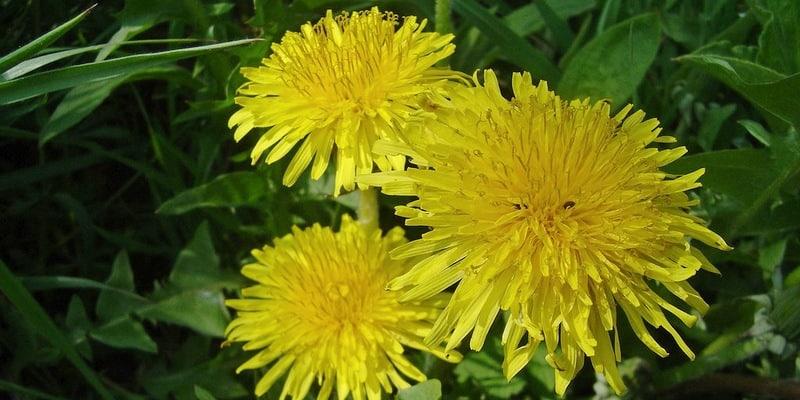 tanaman jombang untuk ramuan herbal bercak hitam di muka