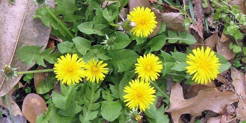 tanaman jombang untuk resep herbal bercak hitam di muka